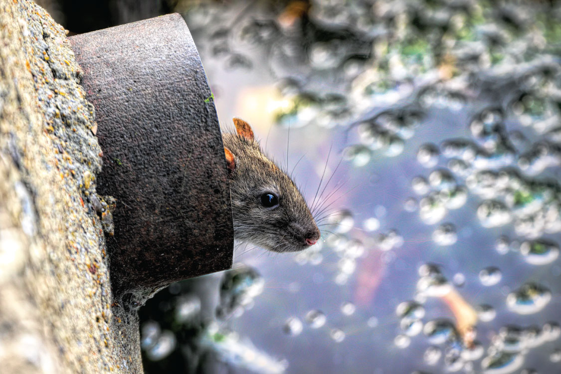 1st-call-drains-what-to-do-about-rats-in-drains